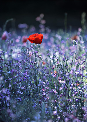 Lone-Poppy-In-Blue-Flowers